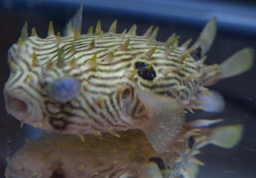 Defeating marine velvet disease louisiana reef club for Fish antibiotics petco